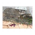Havahart 1089 Piège pliant pour animaux - Grande taille de la marque Havahart image 4 produit